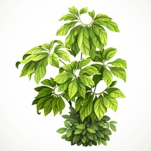 Tropical Plant With Large Leaves Braided With Green Foliage In Undergrowth Object Isolated On White Background