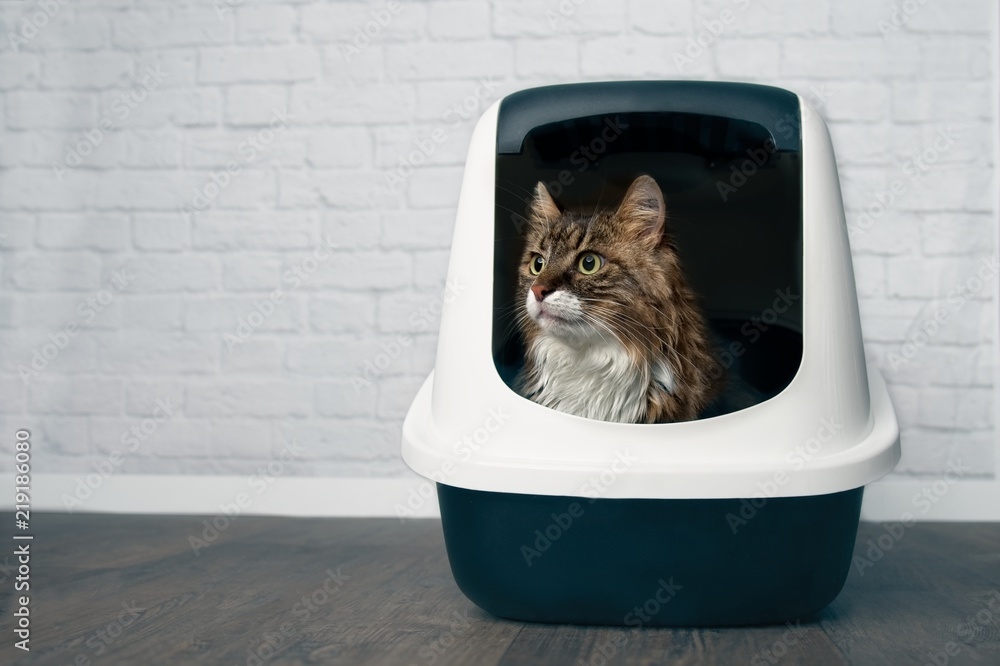 Fototapeta Young Maine Coon cat sitting in a closed llitter box and looking sideways.