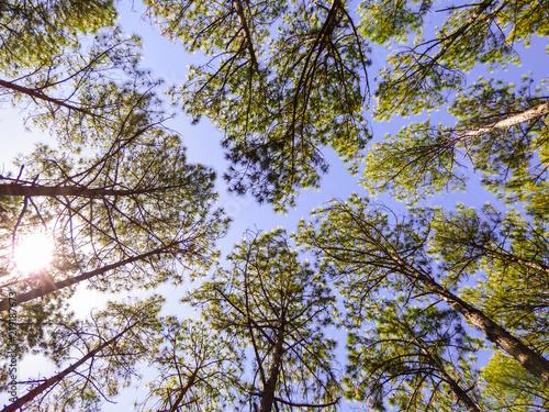Fotografie, Obraz  Pinus elliottii, invasive species, on sand dunes at Rio Vermelho State Park in F