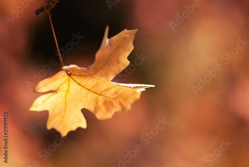 Fotografie, Obraz  Golden Maple Leaf