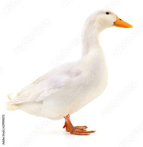 Duck on white.