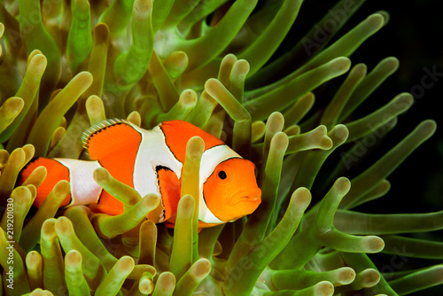 Fototapeta false clown anemonefish, clownfish