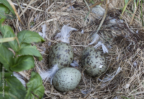 Seagull eggs in a nest on an island in the White sea, one chick has already broken the egg shell. Russia