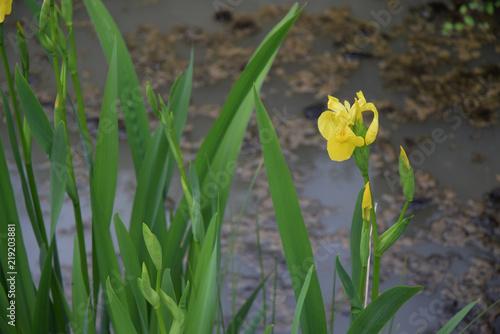 Iris des marais ou iris d'eau