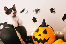 Cute Kitty Sitting In Witch Cauldron With Jack O Lantern Pumpkin With Candles, Broom And Bats, Ghosts On Spooky Background. Happy Halloween Concept. Atmospheric Image