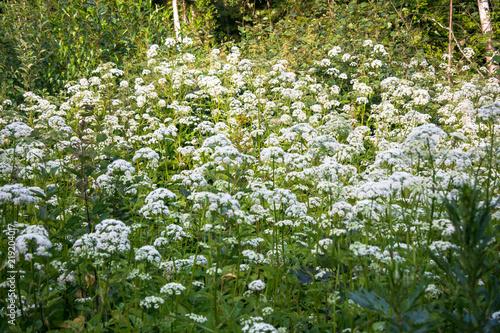 Fotografie, Obraz  Flowering umbelliferous herbs, lit by soft evening sunlight