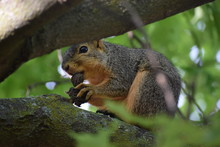 A Fox Squirrel ( Sciurus Niger...