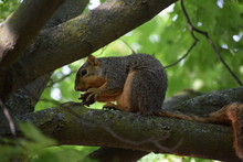 A Fox Squirrel ( Sciurus Niger) Eating Nuts On A Maple Tree
