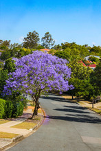 Purple Jacaranda Tree In Full Bloom On Street In Suburbs Of Brisbane Australia With Tile Roofs Showing Through The Foliage In Background