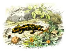 The Terrestrial Salamander, Vi...