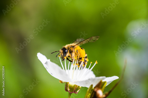 Poster Bee A hard working European honey bee pollinating a flowers in a spring