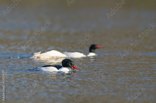 Fotografie, Obraz  European oyster catchers floating and hunting on water