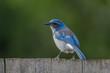 Beautiful scrub jay bird on fence