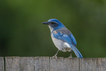 Beautiful Scrub Jay Bird On Fence