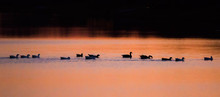 Canada Geese Gathering At Sunset