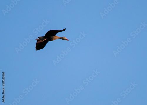 Keuken foto achterwand Toekan Black Bellied Whistling Duck In Flight