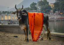 Holy Cow On Street In Pushkar, India