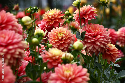 In de dag Dahlia Dahlias in pink tones./In a flower bed a considerable quantity of flowers dahlias with petals in various tones of pink color.