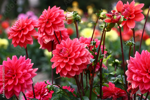 Foto op Plexiglas Dahlia Group pink dahlias./In a flower bed a considerable quantity of flowers dahlias with petals in various tones of pink color.