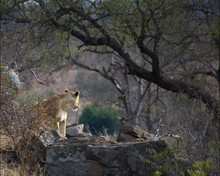 Lionness In Kruger South Africa