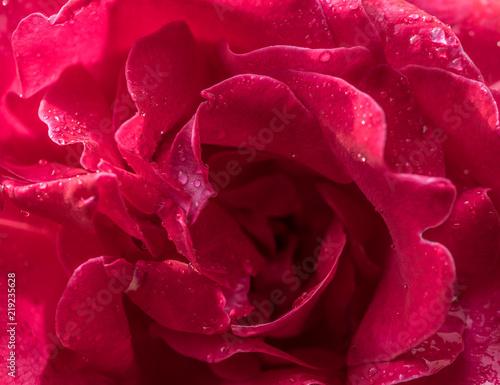 In de dag Dahlia Rose Flowers