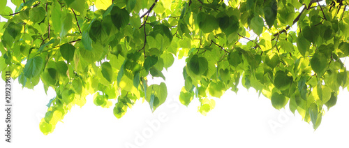 mata magnetyczna Background of green Linden leaves on white background, selective focus.