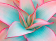 canvas print picture - agave leaves in trendy pastel colors for design backgrounds