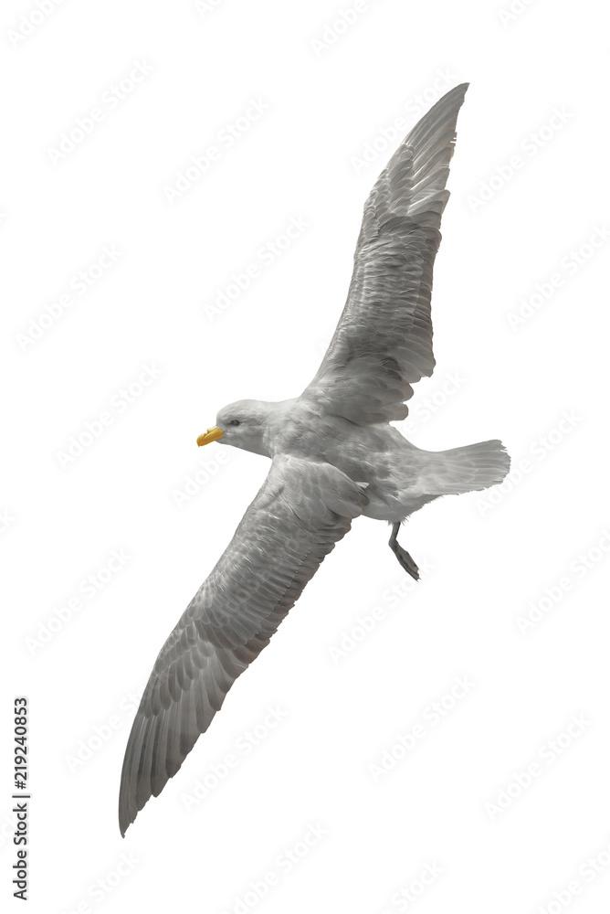 fliegende Möwe - freigestellt