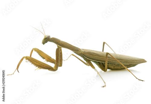 Fotografie, Obraz  European mantis in studio