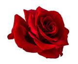 róża na białym tle