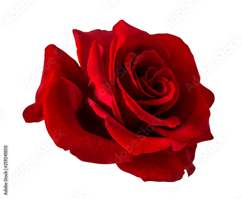 Foto auf Gartenposter Roses rose isolated on white background