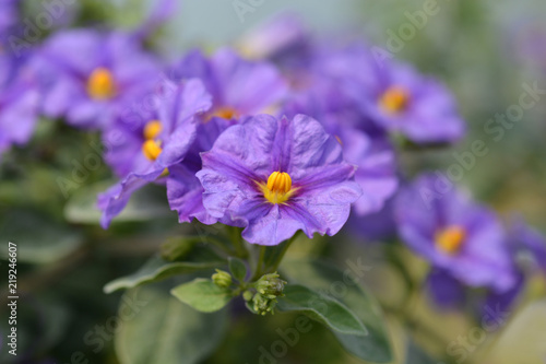 Obraz Blue potato bush Blue Fountain - fototapety do salonu