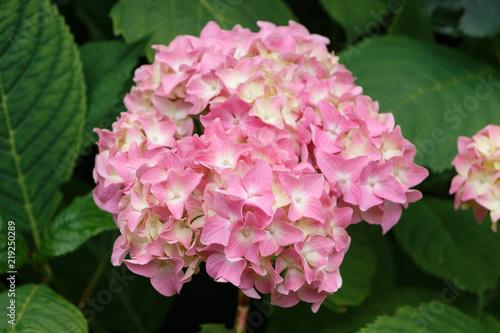 Staande foto Hydrangea Fleur d'hortensia rose