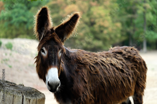 Portrait of domestic Catalan donkey on the farm