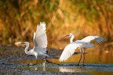 Two Little Egret (Egretta Garz...