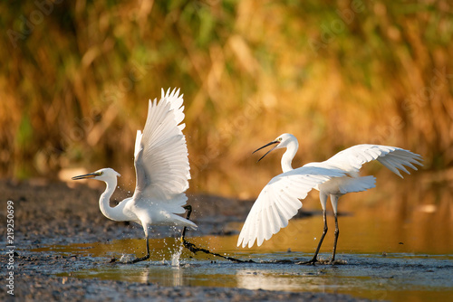 Two Little egret (Egretta garzetta) on a beautiful light Canvas Print