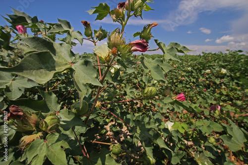 Photo  İzmir / Menemen ovasında çiçek açmış pamuk tarlaları