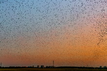 Colorful Summer Sunset Sky Covered With Swirling Mass Of Starlings, Hundreds Of Thousands Of Them, Gathering Above Field Before Overnighting In Reeds, Black Horizon With Electricity Pylons And Houses
