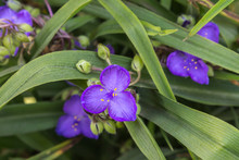 Giant Spiderwort Flowers Background