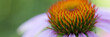 Flower of echinacea natural background of spa treatments
