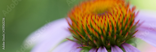 Fotografia  Flower of echinacea natural background of spa treatments