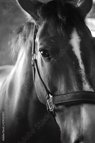 Fototapeta Close-up of horse, black and white, looks at the camera, standing in front of background obraz na płótnie