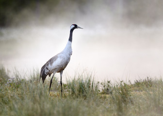 Obraz na Szkle Rzeki i Jeziora Common crane (Grus grus) in morning mist at lake in Telemark, Norway