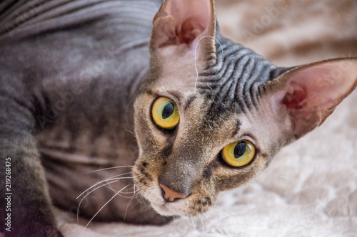 Fotografie, Obraz  Portrait of a beautiful thoroughbred bald cat with green and yellow eyes at home