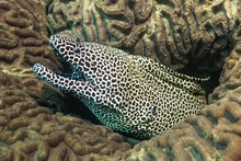 Laced Moray (Gymnothorax Favag...