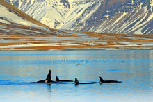 Group Of Killer Whale Near The...