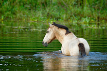 Horse In The River Water, Cost...