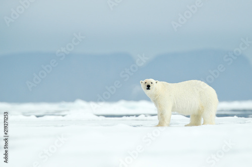 Dangerous polar bear walking on the ice, with mountain in the background, Russia.
