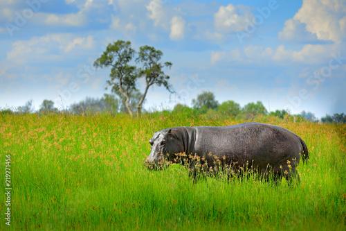 Fotografia Hippo in the grass, wet green season
