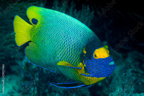 Photo yellow mask angelfish fish